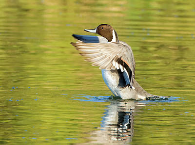 Photograph - Pintail Duck by Tam Ryan