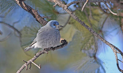 Gold Photograph - Pinyon Jay by Gary Wing