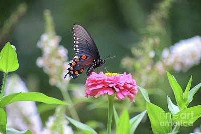Photograph - Pipevine Swallowtail Butterfly In Garden by Karen Adams
