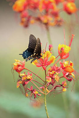 Blue Swallowtail Photograph - Pipevine Swallowtail Butterfly  by Saija Lehtonen