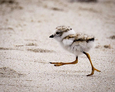 Photograph - Piping Plover Chick by Jim Gillen