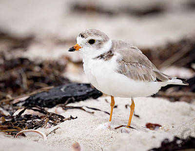 Photograph - Piping Plover by Jim Gillen