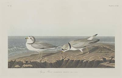 Audubon Drawing - Piping Plover by Dreyer Wildlife Print Collections
