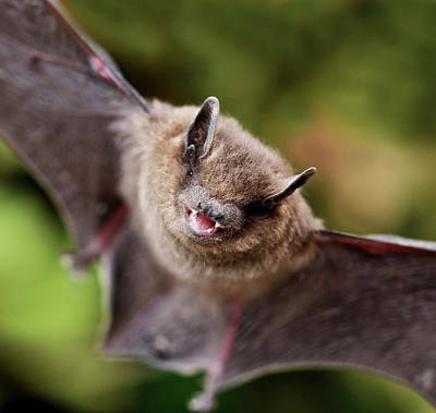 Rights Managed Images - Pipistrelle bat Pipistrellus pipistrellus Royalty-Free Image by David Cole