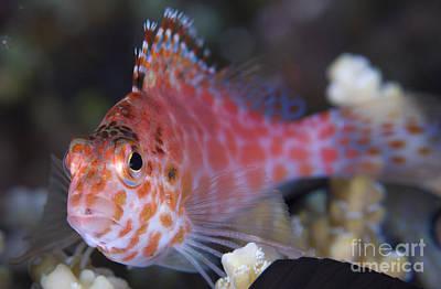 Dorsal Fin Photograph - Pixy Hawkfish, Kimbe Bay, Papua New by Steve Jones