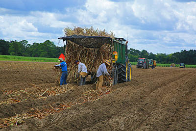 Photograph - Planting Sugarcane by Ronald Olivier