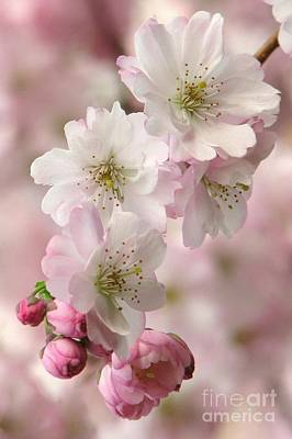 Photograph - Plum Blossoms by Frank Townsley