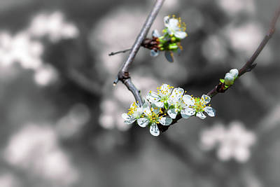 Photograph - Plum Blossoms by Jonathan Nguyen