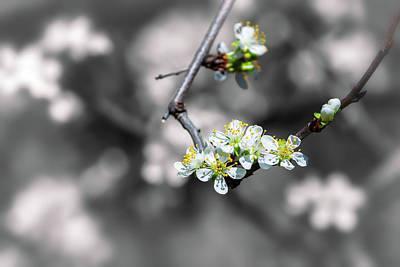 Photograph - Plum Blossoms by Jonathan Nguyen