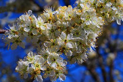 Photograph - Plum Blossoms by Kathryn Meyer