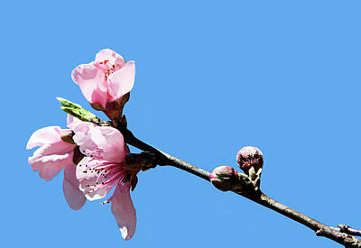 Photograph - Plum Blossoms by Kristin Elmquist