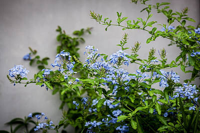Photograph - Plumbago Auriculata Painted  by Rich Franco