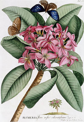 Beautiful Butterfly Drawing - Plumeria by Georg Dionysius Ehret