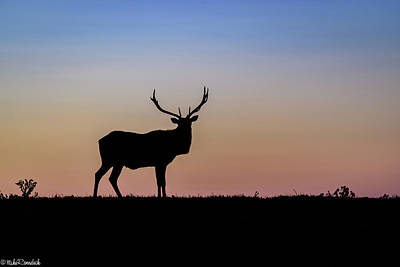 Photograph - Point Reyes Elk by Mike Ronnebeck
