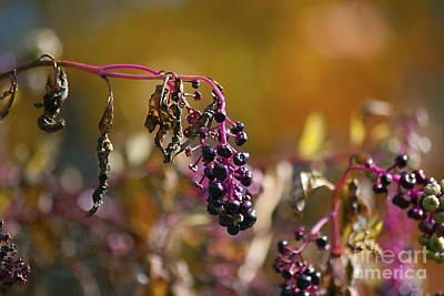 Photograph - Pokeweed Berries 20121020_127 by Tina Hopkins