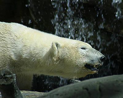 Photograph - Polar Bear 2 by Anthony Jones