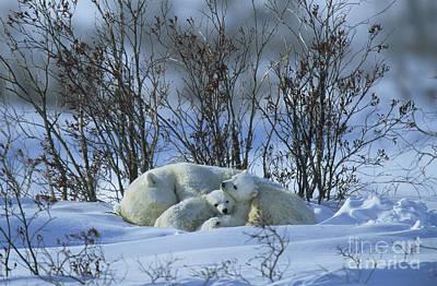 Born Adult Photograph - Polar Bear And Cubs by Jean-Louis Klein & Marie-Luce Hubert