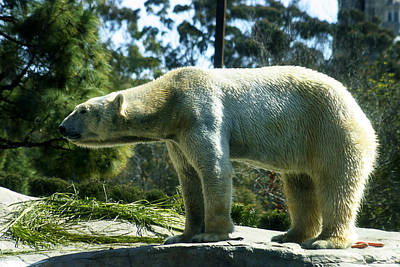 Photograph - Polar Bear  by Anthony Jones