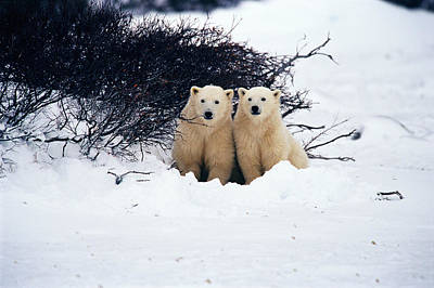 Without People Photograph - Polar Bear Cubs, Churchill, Manitoba by Mike Grandmailson