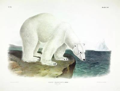 Kodiak Painting - Polar Bear by John James Audubon