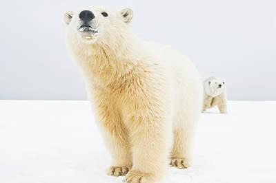 Winter Photograph - Polar Bear  Ursus Maritimus , Curious by Steven Kazlowski