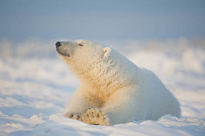 Nanook Photograph - Polar Bear  Ursus Maritimus , Young by Steven Kazlowski