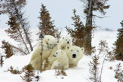 Siblings Photograph - Polar Bear Ursus Maritimus Trio by Matthias Breiter