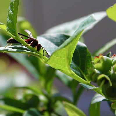 Photograph - Polistes Fuscatus Paper Wasp On A Blueberry Bush by Mandy Elliott