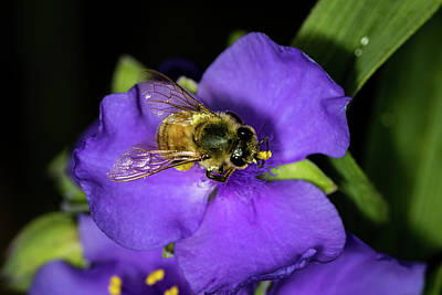 Photograph - Pollen Collector 2 by Jay Stockhaus