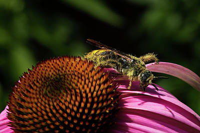 Photograph - Pollen Collector 3 by Jay Stockhaus