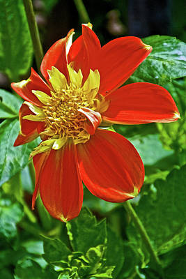 Photograph - Pooh Collarette Dahlias In Golden Gate Park In San Francisco, California  by Ruth Hager
