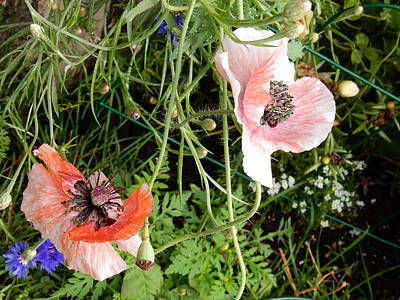 Photograph - Poppies by Betty-Anne McDonald