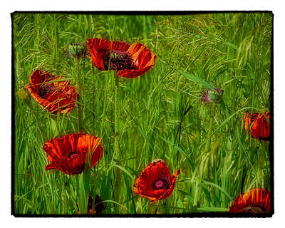 Poppies Art Print by Hugh Smith