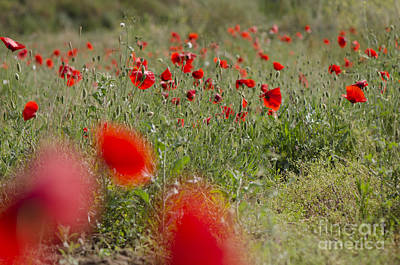 Photograph - Poppies In Field In Spring by Perry Van Munster
