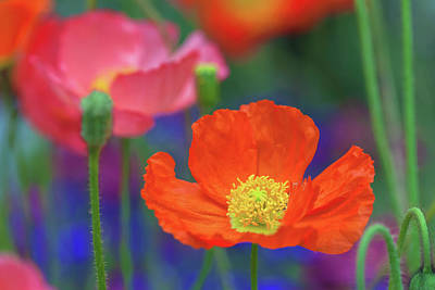 Photograph - Poppies by Jonathan Nguyen