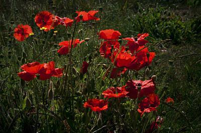 Poppies Print by Svetlana Sewell