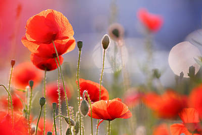 Nederland Photograph - Poppy Delight by Roeselien Raimond