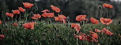 Photograph - Poppy Panorama by Ben Kerckx