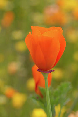 Art Print featuring the photograph Poppy by Roger Mullenhour