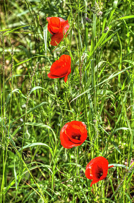 Photograph - Poppys Of Summer by David Pyatt
