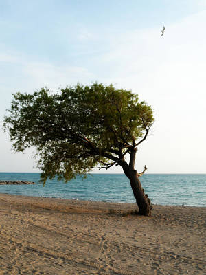 Photograph - Popular Beach Tree by Cyryn Fyrcyd