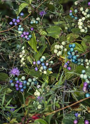 Deciduous Woody Vines Photograph - Porcelain Berries by John Greim