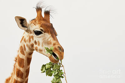 Photograph - Portrait Of A Rothschild Giraffe  by Nick Biemans