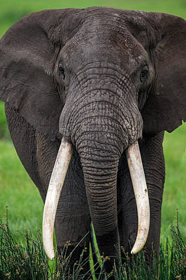 Portrait Of African Elephant Loxodonta Art Print by Panoramic Images