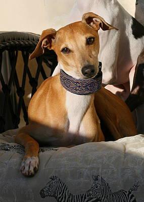 Photograph - Portrait Of An Italian Greyhound by Angela Rath