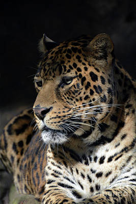 Photograph - Portrait Of Leopard by Savannah Gibbs
