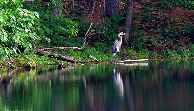 Photograph - Posing Great Blue Heron  by Betty Pauwels