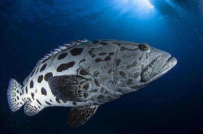 Potato Grouper, Australia Art Print by Todd Winner