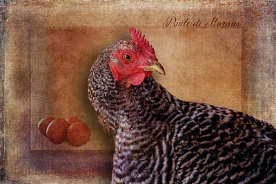Breed Digital Art - Poule De Marans by Terry Davis