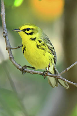 Photograph - Prairie Warbler by Alan Lenk